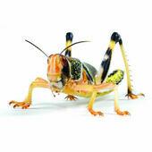 Locusts (Schistocerca Gregaria) Live Food