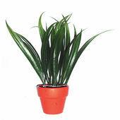 Komodo Plant