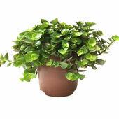 HabiStat Edible Plants, Turtle Vine (Callisia repens)