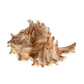 Classic Coral Life Weathered Sea Shell 140mm