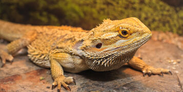 How to Start Keeping Bearded Dragons