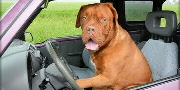 Breed Guide: Dogue De Bordeaux