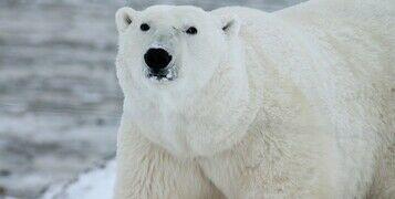 Winter Feature - Arctic Animals