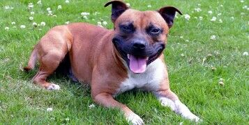Breed Guide: Staffordshire Bull Terrier