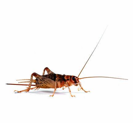 Banded Brown Crickets (Gryllodes Sigillatus) Live Food