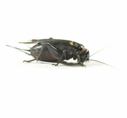 Black Crickets (Gryllus Bimaculatus) Live Food