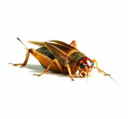 Silent Crickets (Gryllus Assimilis)