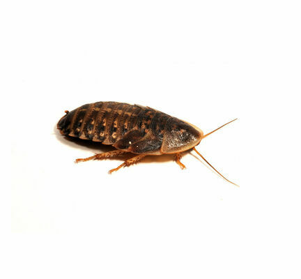Cockroaches (Blaptica Dubia)