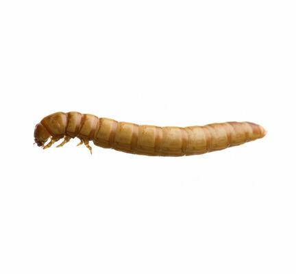Mealworms (Tenebrio Molitor) Live Larvae