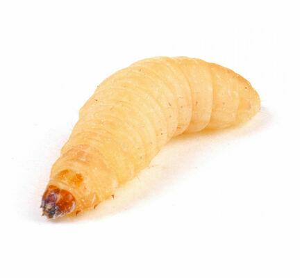 Waxworms (Galleria Mellonella) Live Larvae