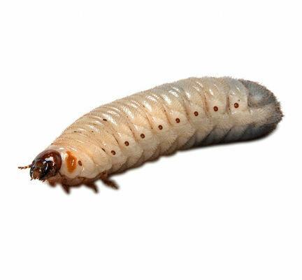 Pachnoda Grub (Pachnoda Marginata) Larvae