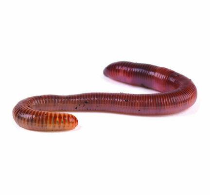 Earthworms (Dendrobena)